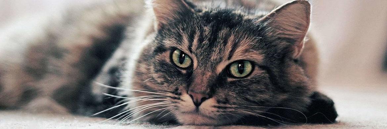 Передержка кошки в коронавирус